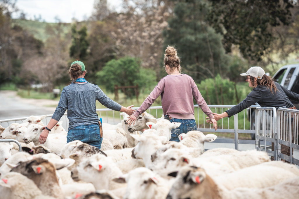 The Paicines shepherdesses work together penning the sheep flock.