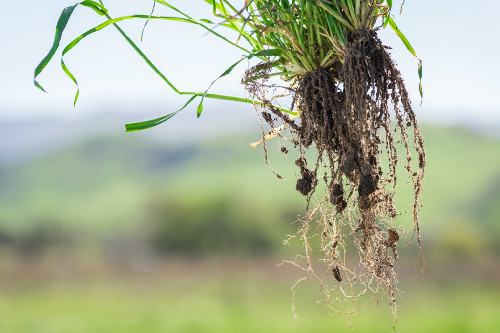Healthy Soil Roots at Paicines Ranch