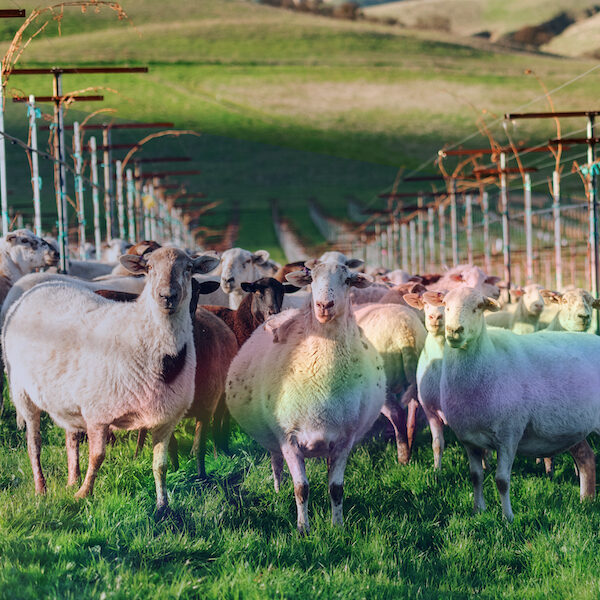 Rainbow Sheep in Vineyard-sqr-med